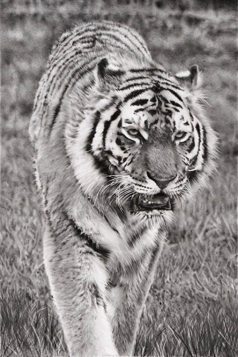 Graphite drawing of tiger at Blackpool Zoo