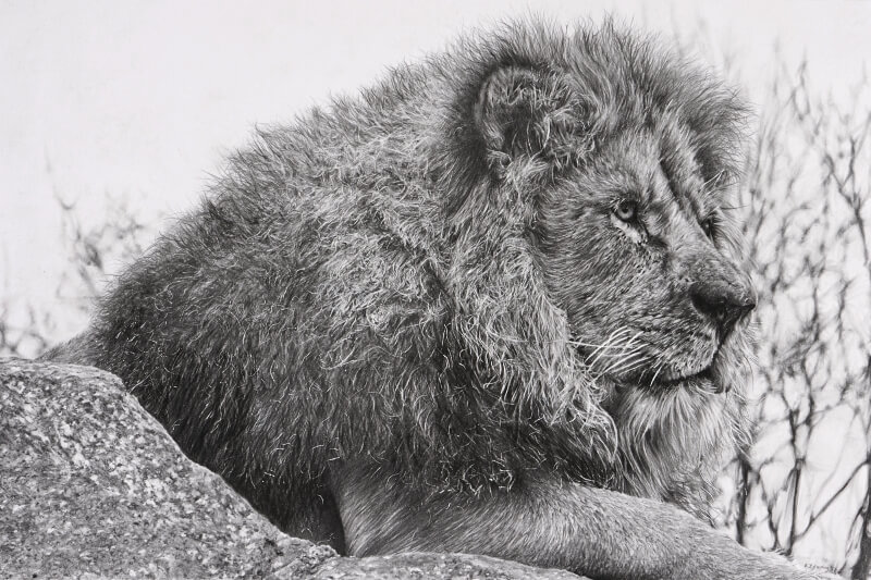 Graphite drawing of lion at Blackpool Zoo