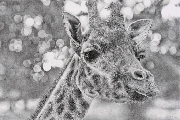 Graphite drawing of giraffe at Blackpool Zoo