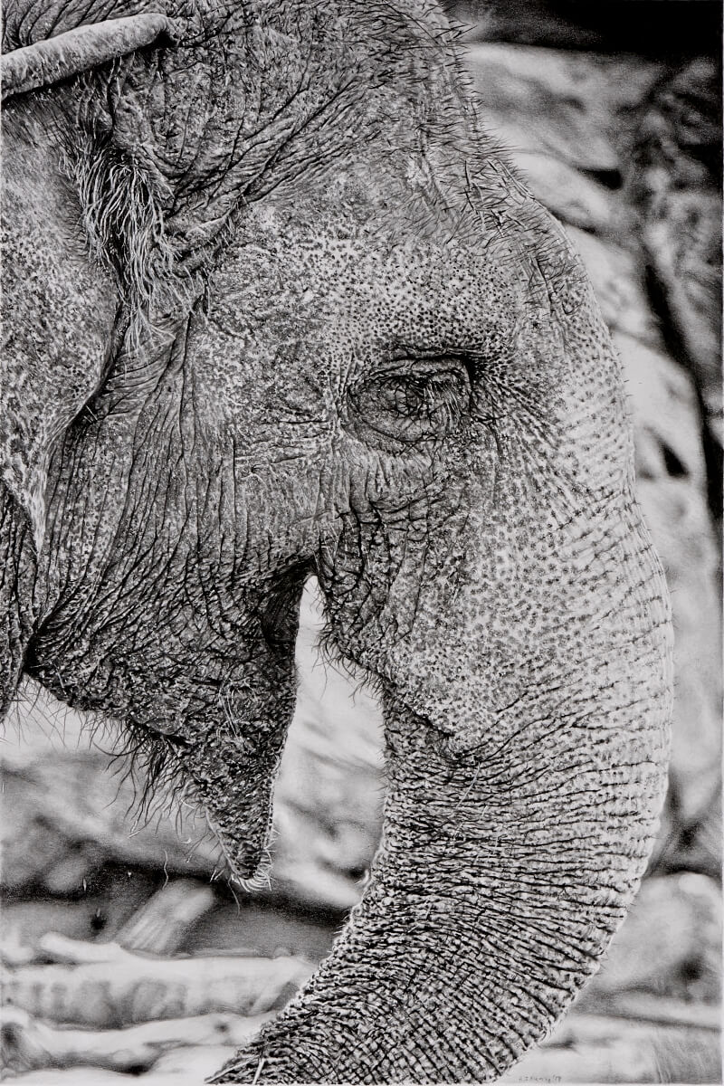 Graphite drawing of Asian elephant. Credit to unsplash.com/@mattpla for the reference photo